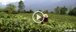 video-green-tea